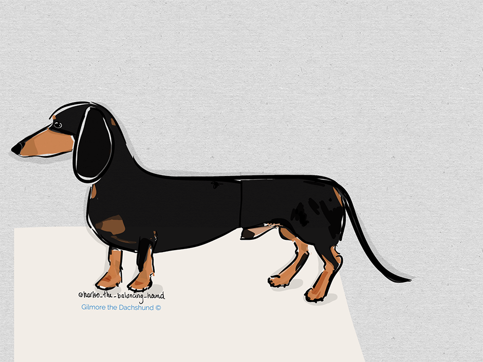 Gilmore the Dachshund ©Drawing of a handsome black and tan mini dachshund